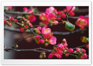 Quince Blossoms HD Wide Wallpaper for Widescreen