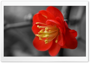 Quince Flower HD Wide Wallpaper for Widescreen