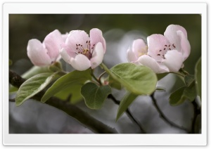 Quince Tree in Bloom HD Wide Wallpaper for Widescreen