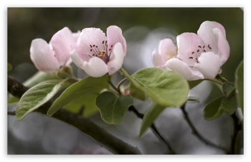 Download Quince Tree in Bloom HD Wallpaper