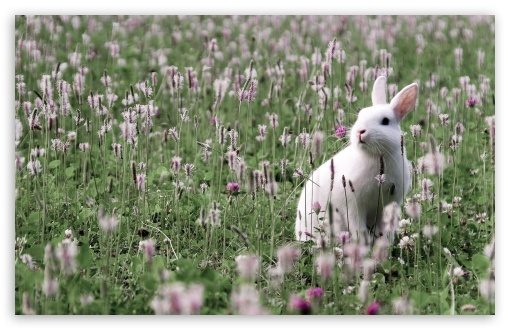 Rabbit In Flower Field UltraHD Wallpaper for Wide 16:10 5:3 Widescreen WHXGA WQXGA WUXGA WXGA WGA ; 8K UHD TV 16:9 Ultra High Definition 2160p 1440p 1080p 900p 720p ; Standard 4:3 5:4 3:2 Fullscreen UXGA XGA SVGA QSXGA SXGA DVGA HVGA HQVGA ( Apple PowerBook G4 iPhone 4 3G 3GS iPod Touch ) ; Tablet 1:1 ; iPad 1/2/Mini ; Mobile 4:3 5:3 3:2 16:9 5:4 - UXGA XGA SVGA WGA DVGA HVGA HQVGA ( Apple PowerBook G4 iPhone 4 3G 3GS iPod Touch ) 2160p 1440p 1080p 900p 720p QSXGA SXGA ;