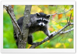 Raccoon In A Tree HD Wide Wallpaper for 4K UHD Widescreen desktop & smartphone