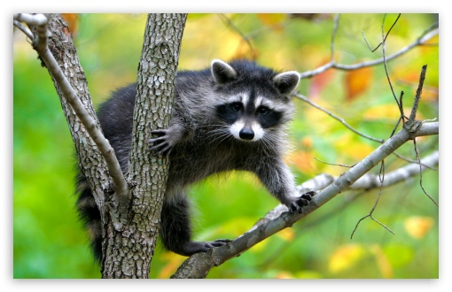 Raccoon In A Tree HD wallpaper for Wide 16:10 5:3 Widescreen WHXGA WQXGA WUXGA WXGA WGA ; HD 16:9 High Definition WQHD QWXGA 1080p 900p 720p QHD nHD ; Standard 4:3 5:4 3:2 Fullscreen UXGA XGA SVGA QSXGA SXGA DVGA HVGA HQVGA devices ( Apple PowerBook G4 iPhone 4 3G 3GS iPod Touch ) ; Tablet 1:1 ; iPad 1/2/Mini ; Mobile 4:3 5:3 3:2 16:9 5:4 - UXGA XGA SVGA WGA DVGA HVGA HQVGA devices ( Apple PowerBook G4 iPhone 4 3G 3GS iPod Touch ) WQHD QWXGA 1080p 900p 720p QHD nHD QSXGA SXGA ;