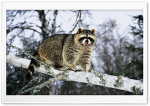 Raccoon On A Tree Branch HD Wide Wallpaper for Widescreen