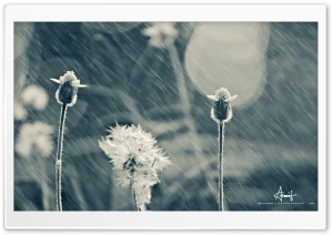 Rain Flower HD Wide Wallpaper for Widescreen