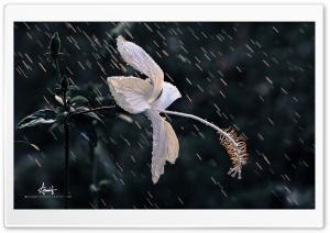 Rain Flower-3 HD Wide Wallpaper for Widescreen