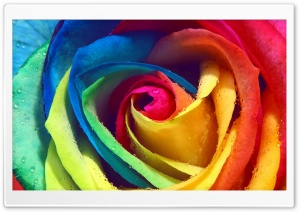Rainbow Rose Macro HD Wide Wallpaper for 4K UHD Widescreen desktop & smartphone