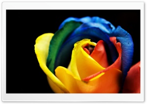 Rainbow Rose Macro HD Wide Wallpaper for Widescreen