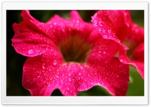 Raindrops on a Flower HD Wide Wallpaper for Widescreen