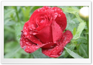 Raindrops On Red Rose HD Wide Wallpaper for Widescreen