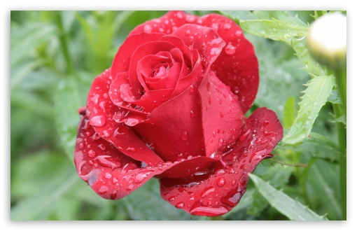 Raindrops On Red Rose ❤ 4K UHD Wallpaper for Wide 16:10 5:3 Widescreen WHXGA WQXGA WUXGA WXGA WGA ; 4K UHD 16:9 Ultra High Definition 2160p 1440p 1080p 900p 720p ; Standard 4:3 5:4 3:2 Fullscreen UXGA XGA SVGA QSXGA SXGA DVGA HVGA HQVGA ( Apple PowerBook G4 iPhone 4 3G 3GS iPod Touch ) ; Tablet 1:1 ; iPad 1/2/Mini ; Mobile 4:3 5:3 3:2 16:9 5:4 - UXGA XGA SVGA WGA DVGA HVGA HQVGA ( Apple PowerBook G4 iPhone 4 3G 3GS iPod Touch ) 2160p 1440p 1080p 900p 720p QSXGA SXGA ;