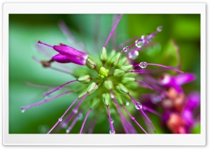 Raindrops on Stamens HD Wide Wallpaper for Widescreen