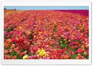 Ranunculus Field HD Wide Wallpaper for Widescreen