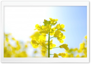 Rape Blossoms HD Wide Wallpaper for 4K UHD Widescreen desktop & smartphone