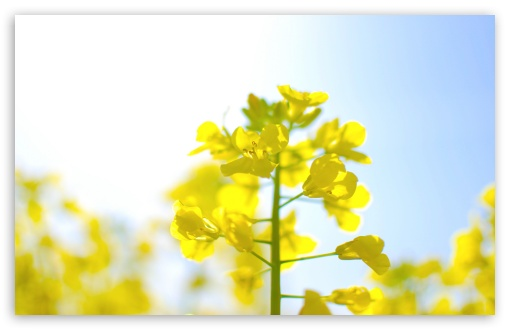 Rape Blossoms HD wallpaper for Wide 16:10 5:3 Widescreen WHXGA WQXGA WUXGA WXGA WGA ; HD 16:9 High Definition WQHD QWXGA 1080p 900p 720p QHD nHD ; UHD 16:9 WQHD QWXGA 1080p 900p 720p QHD nHD ; Standard 4:3 5:4 3:2 Fullscreen UXGA XGA SVGA QSXGA SXGA DVGA HVGA HQVGA devices ( Apple PowerBook G4 iPhone 4 3G 3GS iPod Touch ) ; Tablet 1:1 ; iPad 1/2/Mini ; Mobile 4:3 5:3 3:2 16:9 5:4 - UXGA XGA SVGA WGA DVGA HVGA HQVGA devices ( Apple PowerBook G4 iPhone 4 3G 3GS iPod Touch ) WQHD QWXGA 1080p 900p 720p QHD nHD QSXGA SXGA ;