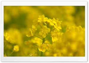 Rape Blossoms Close-up HD Wide Wallpaper for Widescreen