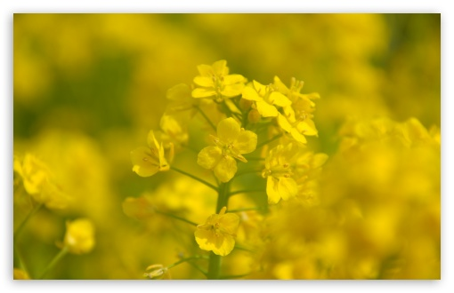 Rape Blossoms Close-up ❤ 4K UHD Wallpaper for Wide 16:10 5:3 Widescreen WHXGA WQXGA WUXGA WXGA WGA ; 4K UHD 16:9 Ultra High Definition 2160p 1440p 1080p 900p 720p ; UHD 16:9 2160p 1440p 1080p 900p 720p ; Standard 4:3 5:4 3:2 Fullscreen UXGA XGA SVGA QSXGA SXGA DVGA HVGA HQVGA ( Apple PowerBook G4 iPhone 4 3G 3GS iPod Touch ) ; Tablet 1:1 ; iPad 1/2/Mini ; Mobile 4:3 5:3 3:2 16:9 5:4 - UXGA XGA SVGA WGA DVGA HVGA HQVGA ( Apple PowerBook G4 iPhone 4 3G 3GS iPod Touch ) 2160p 1440p 1080p 900p 720p QSXGA SXGA ;