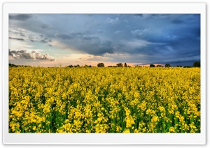 Rape Field HDR HD Wide Wallpaper for Widescreen