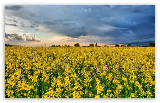 Rape Field HDR HD wallpaper for Wide 16:10 5:3 Widescreen WHXGA WQXGA WUXGA WXGA WGA ; HD 16:9 High Definition WQHD QWXGA 1080p 900p 720p QHD nHD ; Standard 4:3 5:4 3:2 Fullscreen UXGA XGA SVGA QSXGA SXGA DVGA HVGA HQVGA devices ( Apple PowerBook G4 iPhone 4 3G 3GS iPod Touch ) ; Tablet 1:1 ; iPad 1/2/Mini ; Mobile 4:3 5:3 3:2 16:9 5:4 - UXGA XGA SVGA WGA DVGA HVGA HQVGA devices ( Apple PowerBook G4 iPhone 4 3G 3GS iPod Touch ) WQHD QWXGA 1080p 900p 720p QHD nHD QSXGA SXGA ; Dual 16:10 5:3 16:9 4:3 5:4 WHXGA WQXGA WUXGA WXGA WGA WQHD QWXGA 1080p 900p 720p QHD nHD UXGA XGA SVGA QSXGA SXGA ;