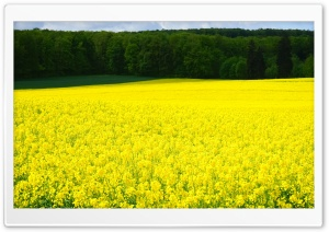 Rapeseed Blossoms HD Wide Wallpaper for Widescreen