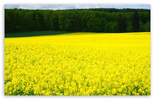 Rapeseed Blossoms ❤ 4K UHD Wallpaper for Wide 16:10 5:3 Widescreen WHXGA WQXGA WUXGA WXGA WGA ; 4K UHD 16:9 Ultra High Definition 2160p 1440p 1080p 900p 720p ; UHD 16:9 2160p 1440p 1080p 900p 720p ; Standard 4:3 5:4 3:2 Fullscreen UXGA XGA SVGA QSXGA SXGA DVGA HVGA HQVGA ( Apple PowerBook G4 iPhone 4 3G 3GS iPod Touch ) ; Smartphone 5:3 WGA ; Tablet 1:1 ; iPad 1/2/Mini ; Mobile 4:3 5:3 3:2 16:9 5:4 - UXGA XGA SVGA WGA DVGA HVGA HQVGA ( Apple PowerBook G4 iPhone 4 3G 3GS iPod Touch ) 2160p 1440p 1080p 900p 720p QSXGA SXGA ; Dual 16:10 5:3 16:9 4:3 5:4 WHXGA WQXGA WUXGA WXGA WGA 2160p 1440p 1080p 900p 720p UXGA XGA SVGA QSXGA SXGA ;