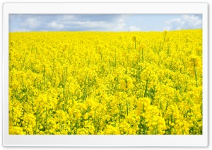 Rapeseed Field HD Wide Wallpaper for Widescreen