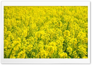 Rapeseed Plant HD Wide Wallpaper for Widescreen