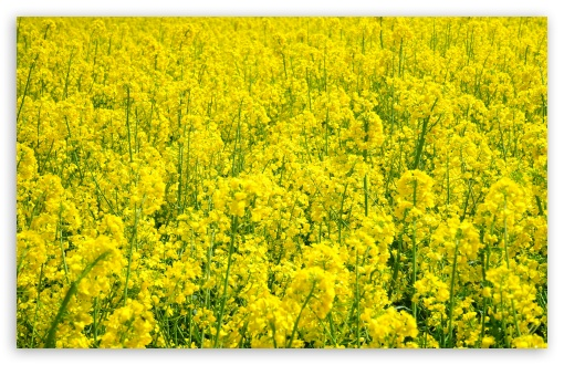Rapeseed Plant ❤ 4K UHD Wallpaper for Wide 16:10 5:3 Widescreen WHXGA WQXGA WUXGA WXGA WGA ; 4K UHD 16:9 Ultra High Definition 2160p 1440p 1080p 900p 720p ; UHD 16:9 2160p 1440p 1080p 900p 720p ; Standard 4:3 5:4 3:2 Fullscreen UXGA XGA SVGA QSXGA SXGA DVGA HVGA HQVGA ( Apple PowerBook G4 iPhone 4 3G 3GS iPod Touch ) ; Smartphone 5:3 WGA ; Tablet 1:1 ; iPad 1/2/Mini ; Mobile 4:3 5:3 3:2 16:9 5:4 - UXGA XGA SVGA WGA DVGA HVGA HQVGA ( Apple PowerBook G4 iPhone 4 3G 3GS iPod Touch ) 2160p 1440p 1080p 900p 720p QSXGA SXGA ; Dual 16:10 5:3 16:9 4:3 5:4 WHXGA WQXGA WUXGA WXGA WGA 2160p 1440p 1080p 900p 720p UXGA XGA SVGA QSXGA SXGA ;