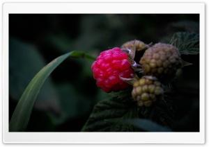 Raspberries. HD Wide Wallpaper for Widescreen