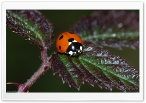 Real Ladybug HD Wide Wallpaper for 4K UHD Widescreen desktop & smartphone
