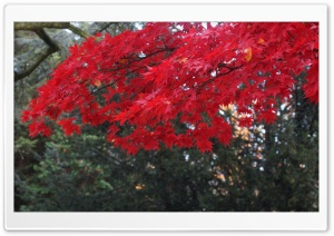 Red Acer Tree HD Wide Wallpaper for Widescreen