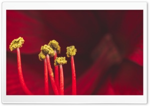 Red Amaryllis Flower Stamens...