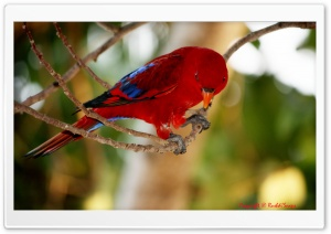 Red and Blue Bird HD Wide Wallpaper for Widescreen