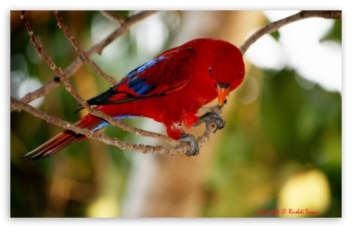 Red and Blue Bird ❤ 4K UHD Wallpaper for Wide 16:10 5:3 Widescreen WHXGA WQXGA WUXGA WXGA WGA ; 4K UHD 16:9 Ultra High Definition 2160p 1440p 1080p 900p 720p ; UHD 16:9 2160p 1440p 1080p 900p 720p ; Standard 4:3 5:4 3:2 Fullscreen UXGA XGA SVGA QSXGA SXGA DVGA HVGA HQVGA ( Apple PowerBook G4 iPhone 4 3G 3GS iPod Touch ) ; iPad 1/2/Mini ; Mobile 4:3 5:3 3:2 5:4 - UXGA XGA SVGA WGA DVGA HVGA HQVGA ( Apple PowerBook G4 iPhone 4 3G 3GS iPod Touch ) QSXGA SXGA ;
