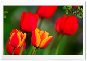 Red And Orange Tulips HD Wide Wallpaper for Widescreen