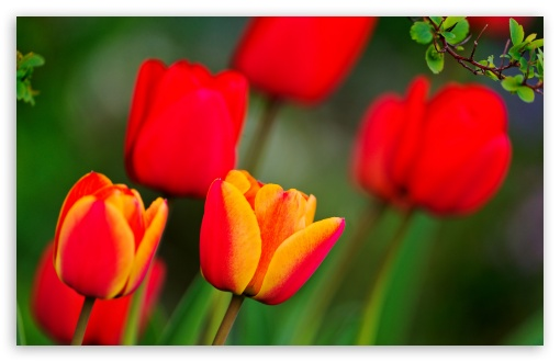 Red And Orange Tulips HD wallpaper for Wide 16:10 5:3 Widescreen WHXGA WQXGA WUXGA WXGA WGA ; HD 16:9 High Definition WQHD QWXGA 1080p 900p 720p QHD nHD ; UHD 16:9 WQHD QWXGA 1080p 900p 720p QHD nHD ; Standard 4:3 5:4 3:2 Fullscreen UXGA XGA SVGA QSXGA SXGA DVGA HVGA HQVGA devices ( Apple PowerBook G4 iPhone 4 3G 3GS iPod Touch ) ; Tablet 1:1 ; iPad 1/2/Mini ; Mobile 4:3 5:3 3:2 16:9 5:4 - UXGA XGA SVGA WGA DVGA HVGA HQVGA devices ( Apple PowerBook G4 iPhone 4 3G 3GS iPod Touch ) WQHD QWXGA 1080p 900p 720p QHD nHD QSXGA SXGA ; Dual 5:4 QSXGA SXGA ;