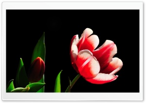 Red and White Tulip, Green Leaves HD Wide Wallpaper for Widescreen