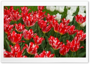 Red and White Tulips HD Wide Wallpaper for Widescreen