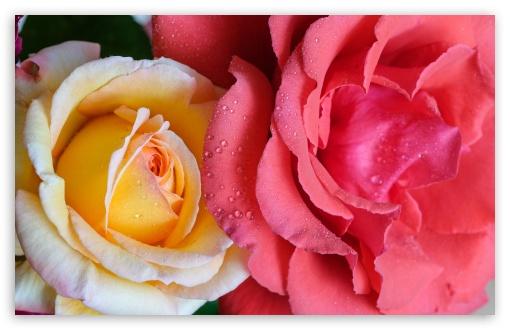 Red and Yellow Roses Flowers UltraHD Wallpaper for Wide 16:10 5:3 Widescreen WHXGA WQXGA WUXGA WXGA WGA ; UltraWide 21:9 24:10 ; 8K UHD TV 16:9 Ultra High Definition 2160p 1440p 1080p 900p 720p ; UHD 16:9 2160p 1440p 1080p 900p 720p ; Standard 4:3 5:4 3:2 Fullscreen UXGA XGA SVGA QSXGA SXGA DVGA HVGA HQVGA ( Apple PowerBook G4 iPhone 4 3G 3GS iPod Touch ) ; Smartphone 16:9 3:2 5:3 2160p 1440p 1080p 900p 720p DVGA HVGA HQVGA ( Apple PowerBook G4 iPhone 4 3G 3GS iPod Touch ) WGA ; Tablet 1:1 ; iPad 1/2/Mini ; Mobile 4:3 5:3 3:2 16:9 5:4 - UXGA XGA SVGA WGA DVGA HVGA HQVGA ( Apple PowerBook G4 iPhone 4 3G 3GS iPod Touch ) 2160p 1440p 1080p 900p 720p QSXGA SXGA ;