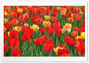 Red and Yellow Tulips HD Wide Wallpaper for 4K UHD Widescreen desktop & smartphone