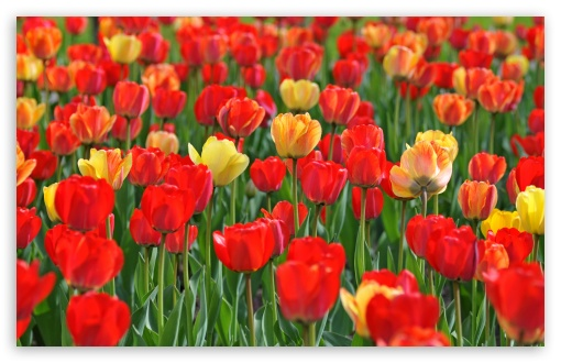 Red and Yellow Tulips HD wallpaper for Wide 16:10 5:3 Widescreen WHXGA WQXGA WUXGA WXGA WGA ; HD 16:9 High Definition WQHD QWXGA 1080p 900p 720p QHD nHD ; UHD 16:9 WQHD QWXGA 1080p 900p 720p QHD nHD ; Standard 4:3 5:4 3:2 Fullscreen UXGA XGA SVGA QSXGA SXGA DVGA HVGA HQVGA devices ( Apple PowerBook G4 iPhone 4 3G 3GS iPod Touch ) ; Smartphone 5:3 WGA ; Tablet 1:1 ; iPad 1/2/Mini ; Mobile 4:3 5:3 3:2 16:9 5:4 - UXGA XGA SVGA WGA DVGA HVGA HQVGA devices ( Apple PowerBook G4 iPhone 4 3G 3GS iPod Touch ) WQHD QWXGA 1080p 900p 720p QHD nHD QSXGA SXGA ; Dual 16:10 5:3 16:9 4:3 5:4 WHXGA WQXGA WUXGA WXGA WGA WQHD QWXGA 1080p 900p 720p QHD nHD UXGA XGA SVGA QSXGA SXGA ;