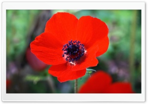 Red Anemone Flower HD Wide Wallpaper for Widescreen