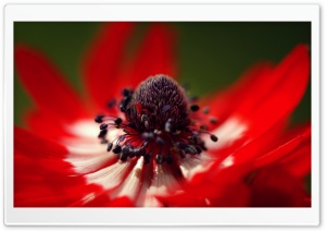 Red Anemone Macro HD Wide Wallpaper for Widescreen