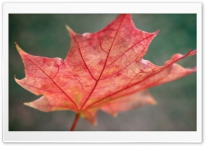 Red Autumn Leaf HD Wide Wallpaper for Widescreen