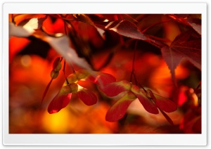 Red Autumn Leaves, Close Up HD Wide Wallpaper for Widescreen