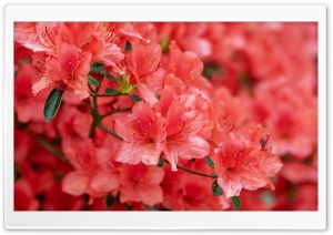 Red Azalea Flowers HD Wide Wallpaper for 4K UHD Widescreen desktop & smartphone