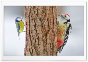 Red Bellied Woodpecker HD Wide Wallpaper for Widescreen
