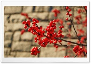 Red Berries HD Wide Wallpaper for Widescreen