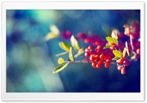 Red Berries Branch HD Wide Wallpaper for 4K UHD Widescreen desktop & smartphone