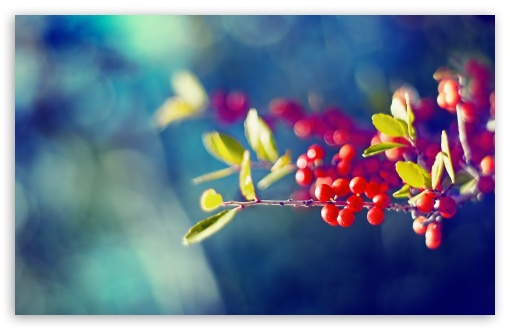 Red Berries Branch ❤ 4K UHD Wallpaper for Wide 16:10 5:3 Widescreen WHXGA WQXGA WUXGA WXGA WGA ; 4K UHD 16:9 Ultra High Definition 2160p 1440p 1080p 900p 720p ; Standard 4:3 5:4 3:2 Fullscreen UXGA XGA SVGA QSXGA SXGA DVGA HVGA HQVGA ( Apple PowerBook G4 iPhone 4 3G 3GS iPod Touch ) ; Tablet 1:1 ; iPad 1/2/Mini ; Mobile 4:3 5:3 3:2 16:9 5:4 - UXGA XGA SVGA WGA DVGA HVGA HQVGA ( Apple PowerBook G4 iPhone 4 3G 3GS iPod Touch ) 2160p 1440p 1080p 900p 720p QSXGA SXGA ; Dual 16:10 5:3 16:9 4:3 5:4 WHXGA WQXGA WUXGA WXGA WGA 2160p 1440p 1080p 900p 720p UXGA XGA SVGA QSXGA SXGA ;